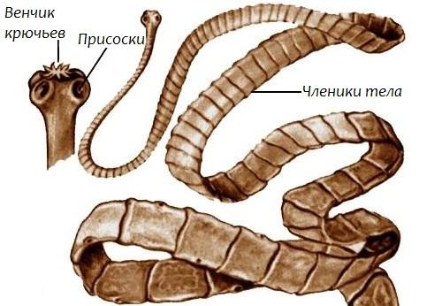 Дифиллоботриоз у человека