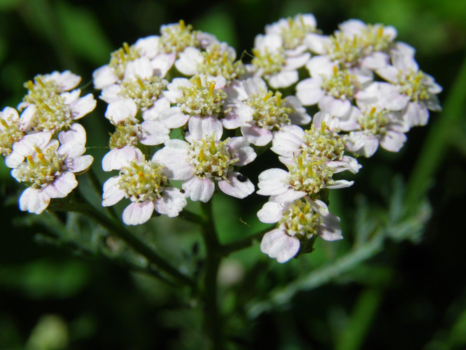 Экстракты каких трав входят в состав препарата Траумель С