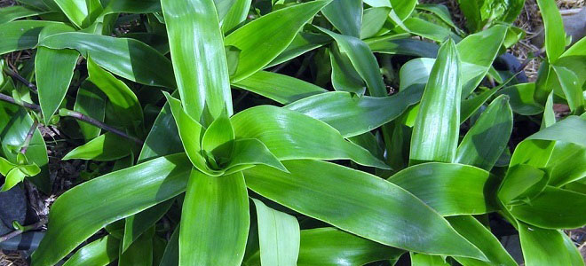 Польза растения золотой ус и лучшие рецепты для применения